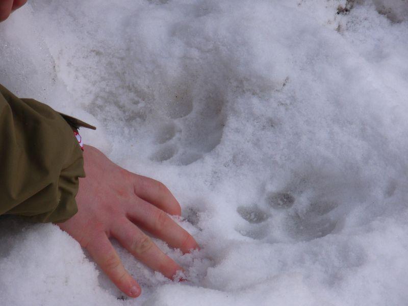 Lion tracks 2
