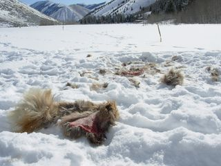 Elk remains after a wolf's lunch