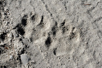 Fresh wolf tracks found along the side of a forest road. (Rob Miller)