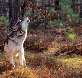 Wolfhowlistock